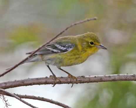 pine-warbler-127a-cr